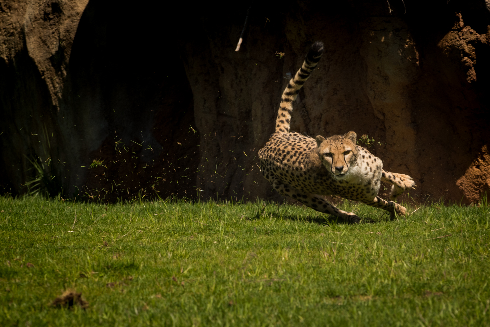 Cheetah Run 2432 - Grahm S. Jones, Columbus Zoo and Aquarium