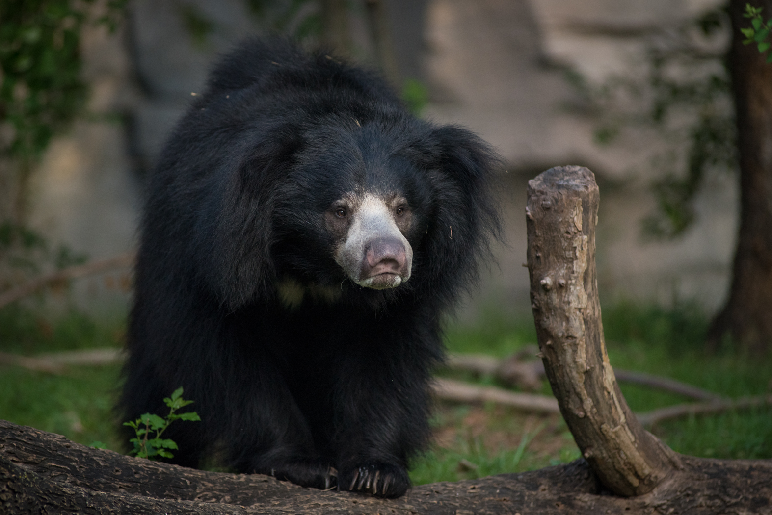 Sloth Bear 1266 - Grahm S. Jones, Columbus Zoo and Aquarium