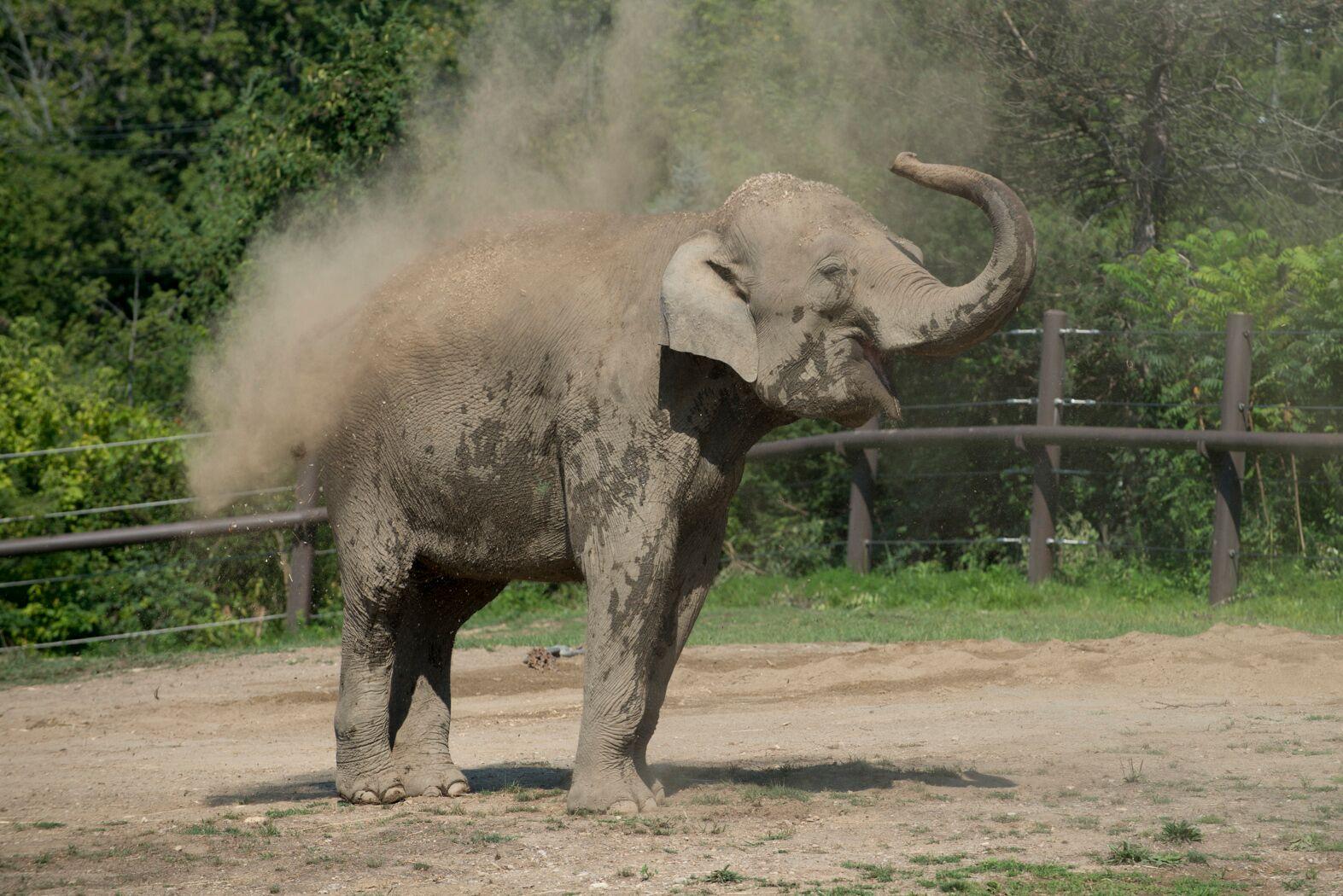 Asian Elephant 5009 - Grahm S. Jones, Columbus Zoo and Aquarium_preview